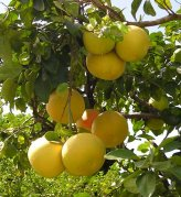 Grapefruit-Tree-Care